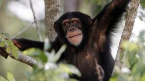 chimpanzee-sanctuary-kentucky